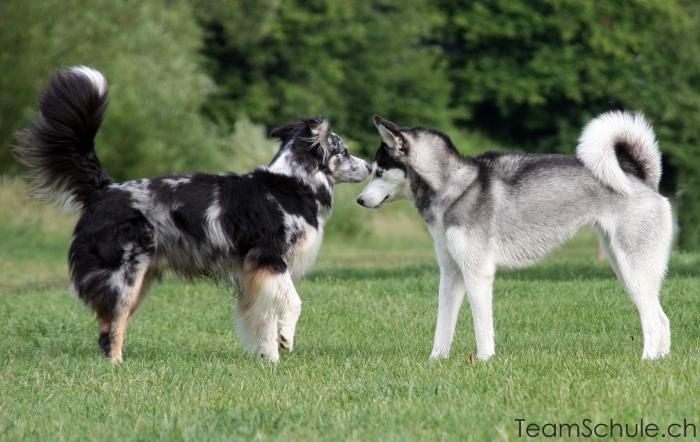hund_wolf