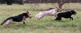 Vorderer Hund wird gejagt